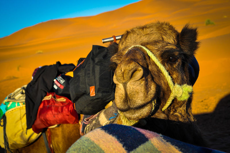 Camel resting from carrying lots of tourists bags Animal Body Part Animal Wildlife Bridle Camel Carrying Bags Desert Domestic Domestic Animals Herbivorous Land Livestock Mammal Nature One Animal Outdoors People Pets Portrait Resting Sahara Vertebrate Working Animal