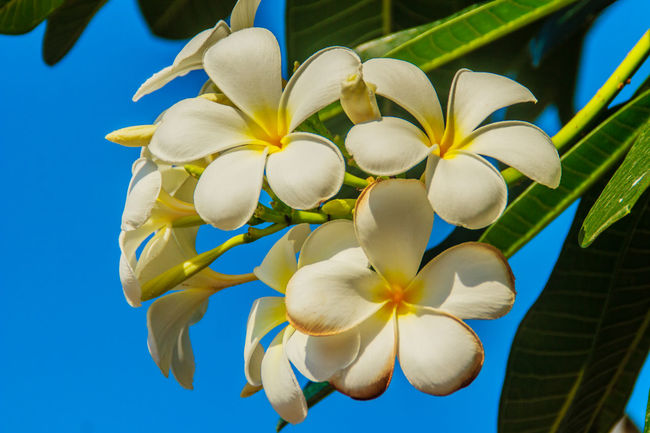 beautiful Plumeria Flower with blue sky background and green leaves Clear Blue Sky Plumeria Beauty In Nature Blooming Blue Sky Close-up Day Flower Flower Head Fragility Frangipani Freshness Growth Nature No People Outdoors Petal Plant Plumeria Blossoms Plumeria Flower Plumeria Flowers