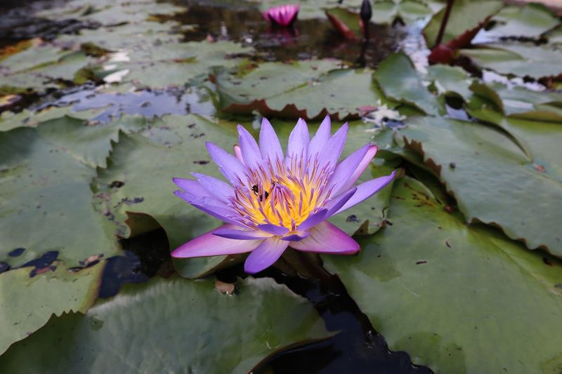 Lotus Lotus Flower Lotus Flower Flowering Plant Lake Water Lily Plant Beauty In Nature Water Vulnerability  Freshness Growth Petal Purple Fragility Leaf Plant Part Close-up Flower Head Nature Floating On Water No People