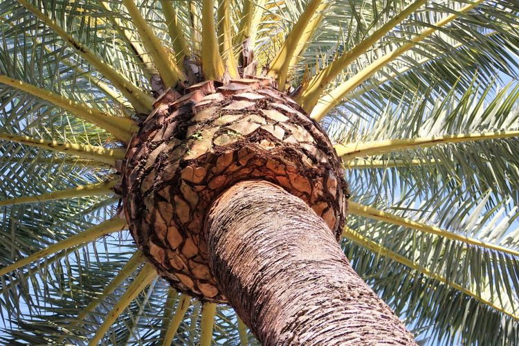 palm tree Canon Rebel T6 Palm Tree Leaves🌿 Nature Blue Sky Outdoors Tree Trunk Low Angle View Lookingup Sky