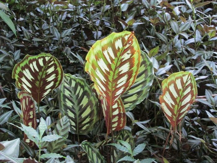 Windows Calathea Hawaii Big Island Hawaii Exotic Flowers Calathea Windows Calathea Ground Cover Exotic Plants