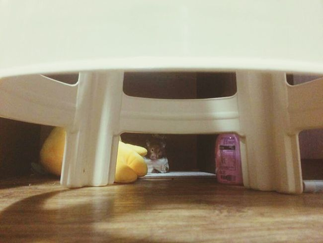 Indoors  Day Hamster 💞 Friends ❤ Hamster Love Roommate  Lovely Cute Pets