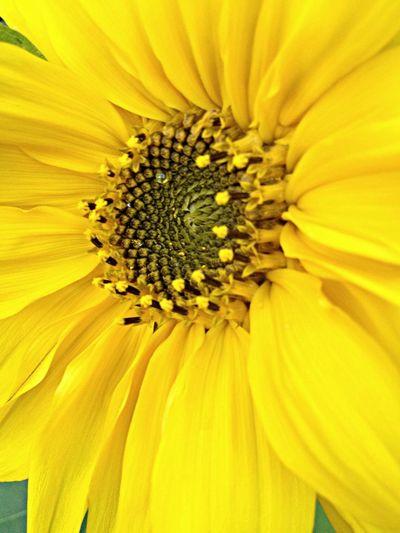 Sonnenblume Nature Flowers