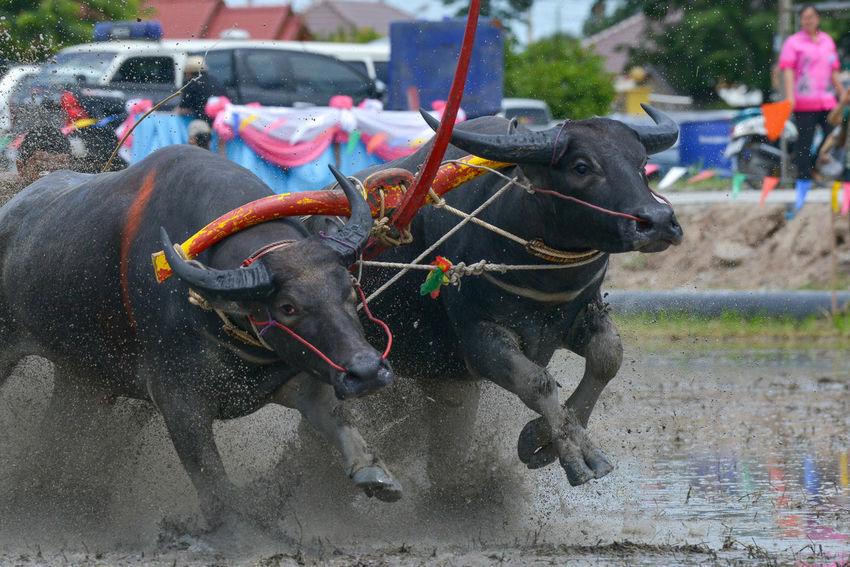 Buffalo Chonburi ,Thailand Day Eye Race Thailand