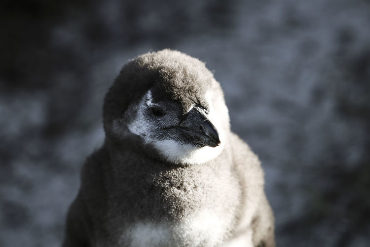 EyeEm Selects Animal Wildlife Animal One Animal Penguin Outdoors Close-up No People Portrait Mammal Animals In The Wild Animal Themes Day Bird Sea Life Aquatic Mammal Animals In The Wild Young Animal Animal Head  Canonphotography Tranquility