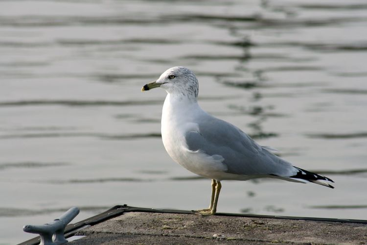 Gull sitting on a dock at Monroe Lake, Indiana Beak Close-up Lake Sea Bird Nature White Color No People Day Perching Focus On Foreground Seagull Water Bird Animal Themes Animals In The Wild Animal Animal Wildlife Vertebrate One Animal Wood - Material Gull Gulls