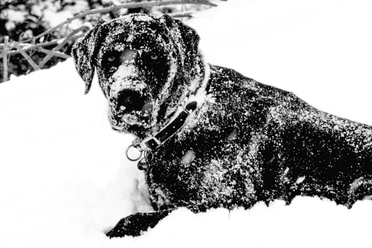 Dog Covered With Snow