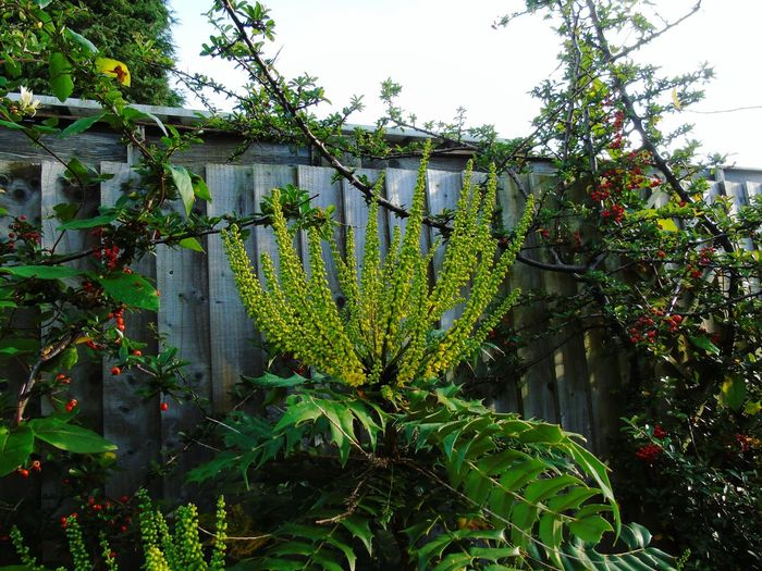 Growth Green Color Plant Nature Lush - Description Nature On Your Doorstep Day Leaf Outdoors Nature Mahonia Flowers