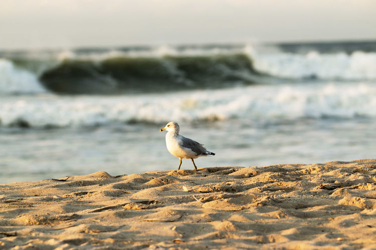 A seagull stands on the beach with large wave in the background,