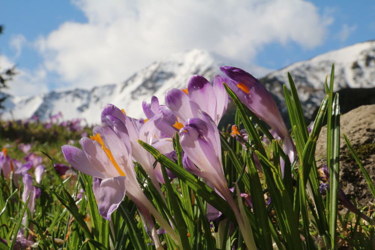 Beauty In Nature Blooming Cloud - Sky Crocus Flower Fragility Mountain Nature No People Outdoors Petal Plant Purple Scenics Selective Focus Sky Tranquility Violet