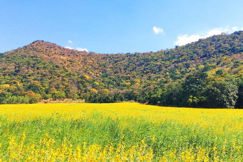 Sunhemp Plant Land Field Beauty In Nature Sky Growth Yellow Nature Flower Outdoors Mountain EyeEm Nature Lover Cloud - Sky Backgrounds