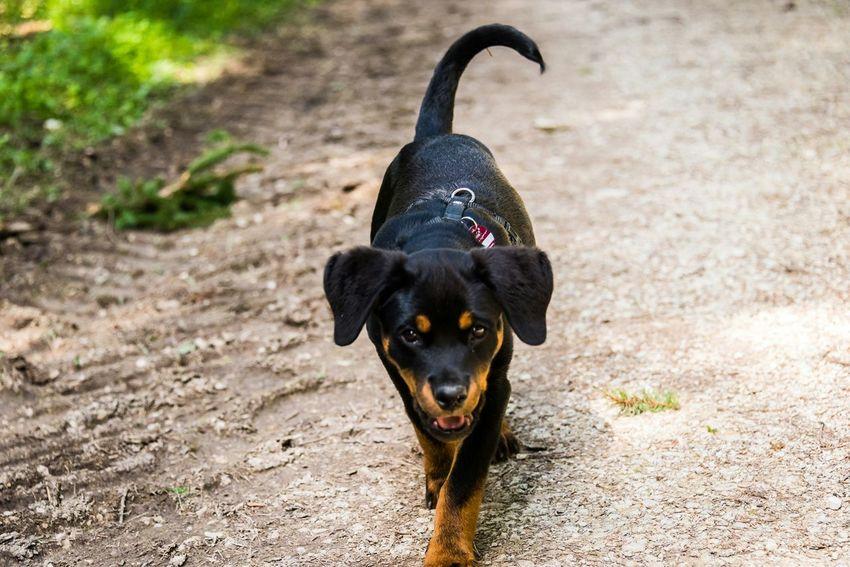 Dogs Puppy Rottweiler Animal_collection EyeEm Gallery Eye4photography  Eyeem Best Shots - Animals What I Value