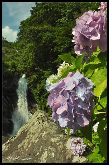 佐賀県唐津市相知町 見返りの滝紫陽花祭り Enjoying Life Landscape Tadaa Community Nature Photography Waterfall 滝 佐賀 唐津 Hydrangea 紫陽花 相知