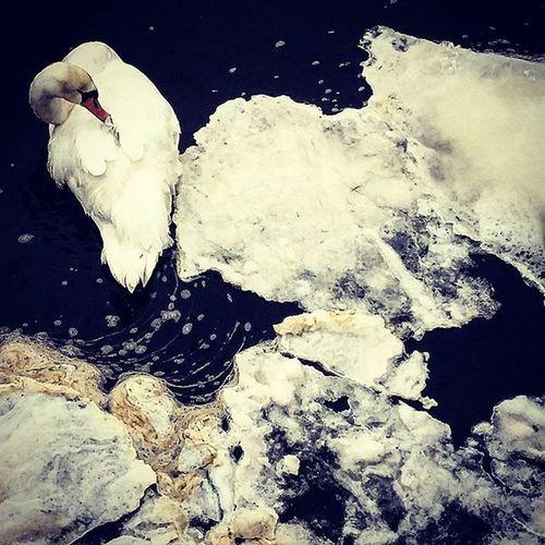 Swan Ice