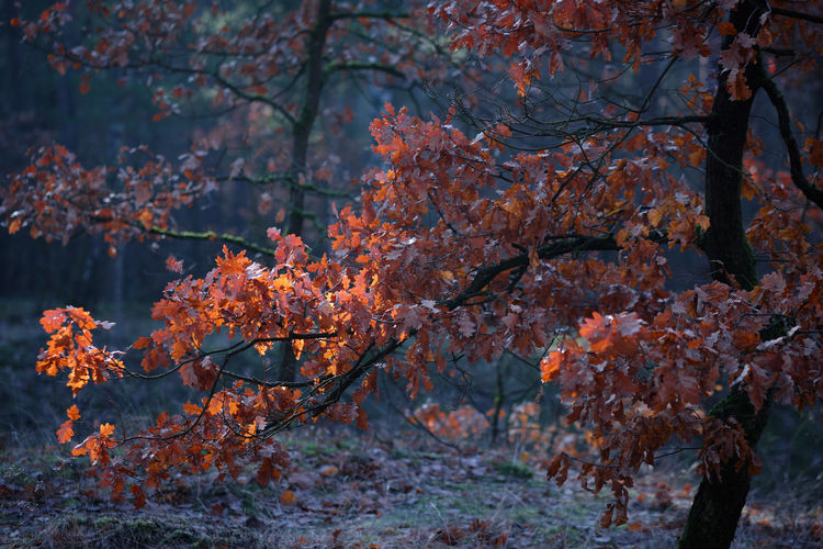 Autumn leaves in the forest with some sunlight Nature Leaf Tree Autumn Day Outdoors Forest Tranquility Change Plant Moody Land Tree Trunk Growth Branch Beauty In Nature Trunk No People Autumn Collection Orange Color Natural Condition Focus On Foreground Moody Nature Plant Part