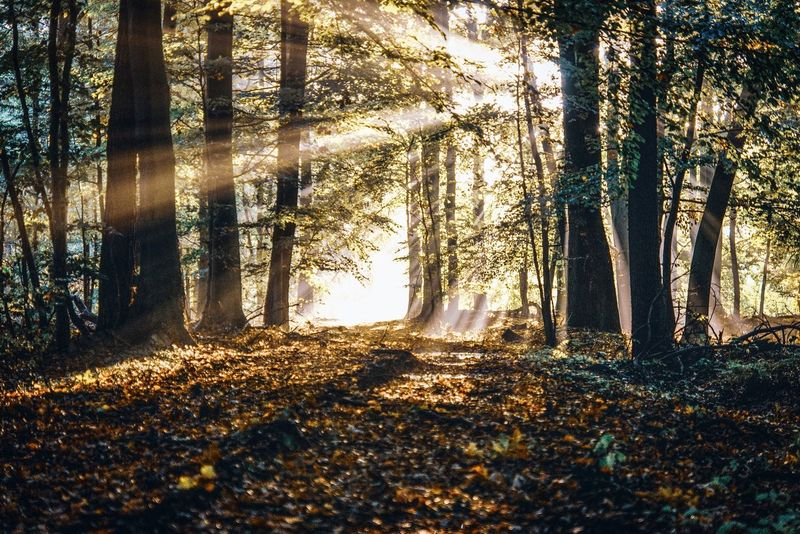 In Thoughts With You Beautiful Scenery Beautiful Morning Foggy Morning Sunrise Early Morning Sunbeam Scenery Day Landscape Sunrays The Way Forward The Week on EyeEm Tree Curtain Tree Trunk Sunlight Close-up Tranquil Scene Tranquility Idyllic Calm Countryside Scenics Woods