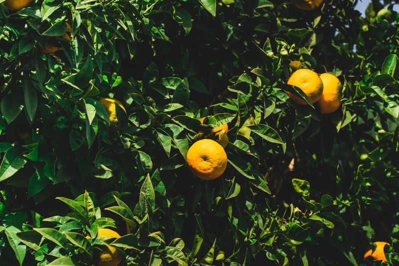 Patterns In Nature Background Texture Backgrounds Natural Photography Tropical Climate Natural Beauty Background Photography SPAIN Copy Space Lemons Lemon Tree Fruit Citrus Fruit Growth Plant Leaf Freshness Healthy Eating Plant Part Food And Drink Nature Fruit Tree Food Orange Green Color Orange Tree Orange Color