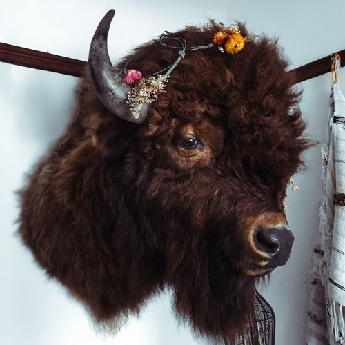 Buffalo Head Animal Head  No People Close-up Animal Themes Indoors  Day Mammal Buffalo Bison Mounted Taxidermy