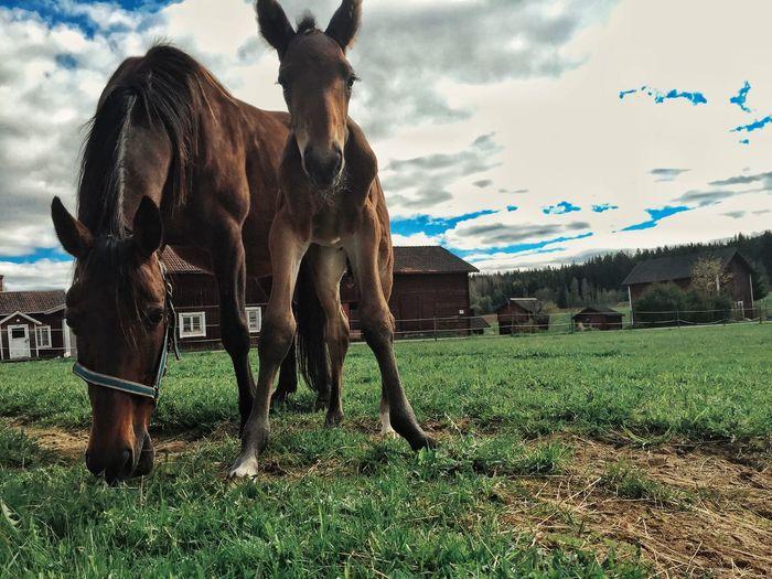 Hello world ❤️ Sweet Little Horses Eye Em Best Shots AMPt_community The Kingdom Of Red Barns EyeEm Best Shots Tadaa Community Vackra Dalarna