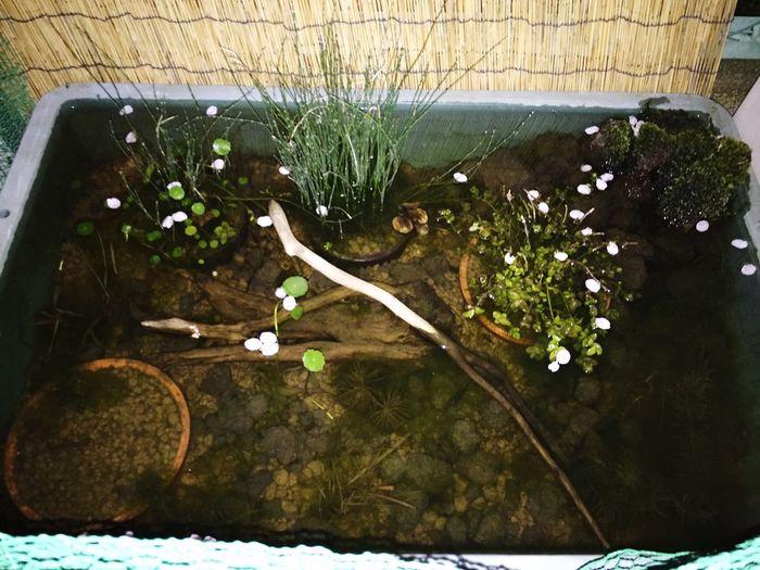 桜散り、花びら浮かぶビオトープに癒しと風情を感じたよ😌✨🌸✨ ビオトープ 桜の花びら 桜 Water Plant Nature Growth Day No People Tree Beauty In Nature Outdoors Floating Floating On Water Flower