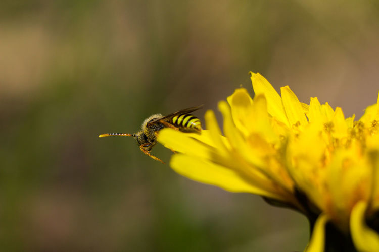 Animal Themes Animal Wildlife Animals In The Wild Beauty In Nature Bee Buzzing Close-up Day Flower Flower Head Fragility Freshness Growth Insect Nature No People One Animal Outdoors Petal Plant Pollination Yellow Perspectives On Nature