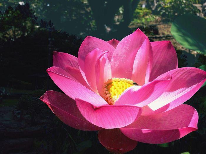 旬な花 Lotus Flower Seasonal Photography Beauty In Nature Timing And Luck 蓮のはな♡…80% Humidity Osaka Japan