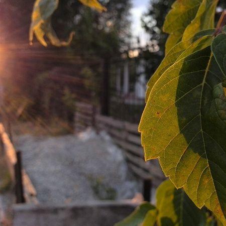 Самара лист листик контровой контраст свет блик дерево лето солнце