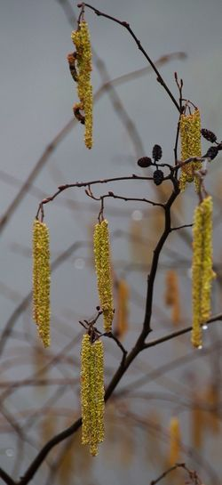 Dew on seedpods. Nature Close-up Plant Outdoors Catkin Freshness Fragility Water