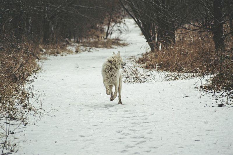 Dog Running On Snow Field During Winter