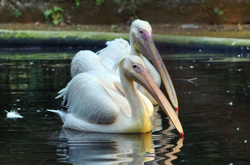 Animal Themes Animal Vertebrate Bird Animals In The Wild Animal Wildlife Water Lake One Animal Pelican Beak Focus On Foreground No People White Color Day Nature Reflection Close-up Waterfront Animal Neck Pelican Birds Two Pelicans