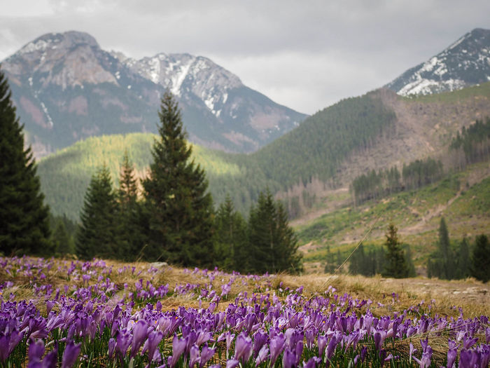 Purple flowering plants on field by mountains against sky