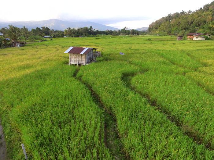 Tea Crop Irrigation Equipment Rice Paddy Tree Mountain Cereal Plant Terraced Field Rural Scene Working Farmer