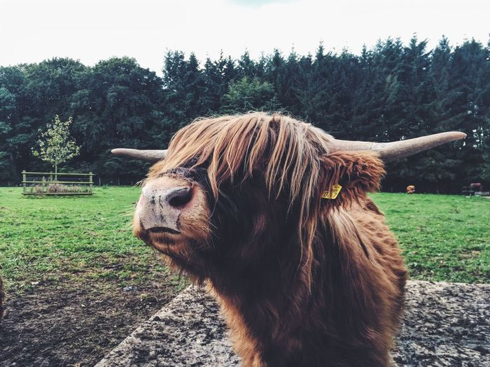 Germany Hamburg Animal Cow One Animal Animal Themes Nature Grass Tree Outdoors Field Day No People Cattle Highland Cattle Green Color Close-up Landscape Sky Farm Animal MadameHamburg