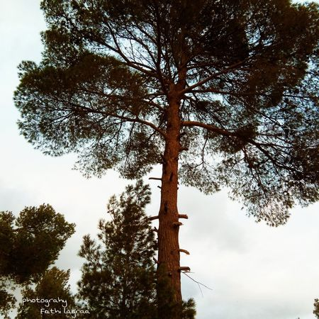 The giant tree People Plant Portrait Photography Forest Fire Beauty In Nature Branch Growth Outdoors Sky Forest Low Angle View Day Nature Tree Area Pinaceae Tree Trunk No People Pine Tree Tree