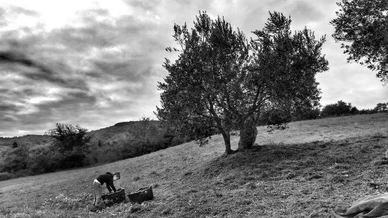 Toscana Italia Tree Cloud - Sky Nature Landscape Day Beauty In Nature Outdoors Sky Italygram Blackandwhite Ig_TUSCANY_ Blackandwhitephotography Volgotoscana Italy Visitarezzo Blackandwhitechallenge Travel Arezzo Tuscanypeople Anghiari Tuscany Freelance Life Olive Trees