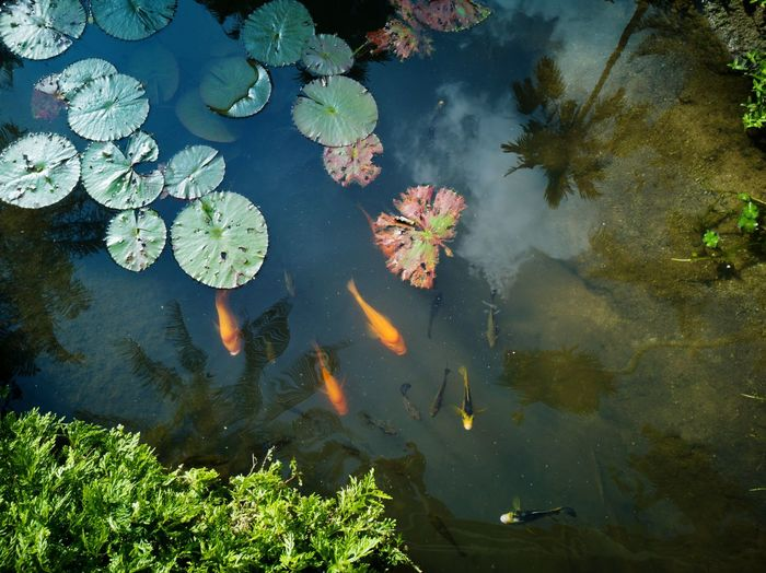 UnderSea Water Swimming Sea Life Underwater Floating On Water Tree High Angle View Reflection Koi Carp School Of Fish Water Lily Fish Water Plant Lotus Fishes Pond Swamp Lotus Water Lily Large Group Of Animals EyeEmNewHere
