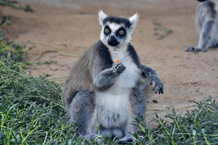 Portrait Of Lemur On Field