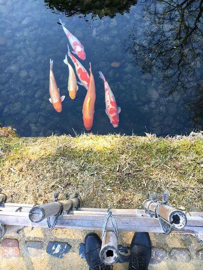 From Where I Stand Koi Fish Nature Lake