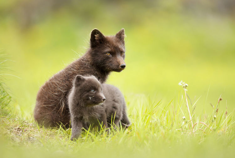 Portrait of arctic fox with pup on grass