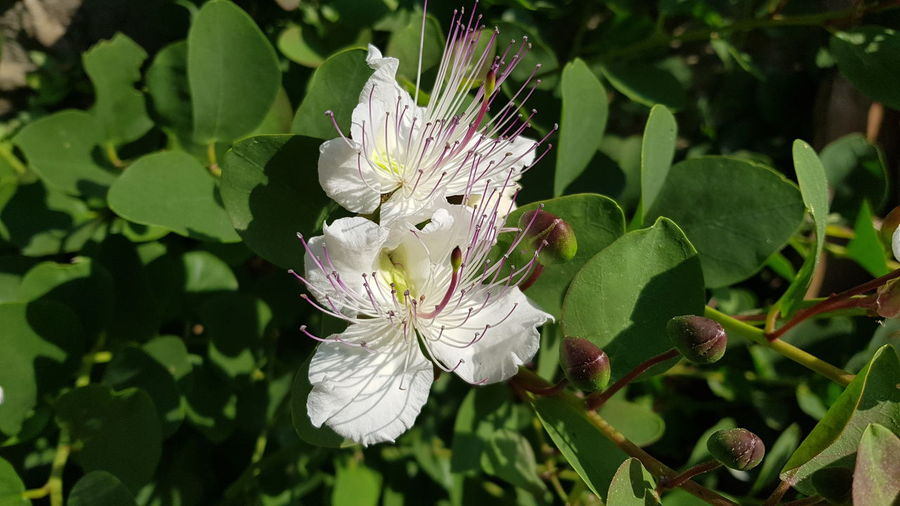Caper Flower Capers Plant Capers Caper No People No Person Flower Flower Head Leaf Close-up Plant