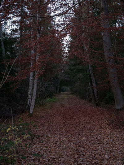 Tree Forest Plant Land Autumn Nature Tranquility WoodLand Plant Part Leaf Direction No People Footpath The Way Forward Dirt Trunk Tree Trunk Day Dirt Road Spooky Change Outdoors Treelined