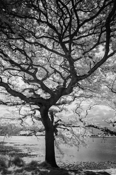 Tree Branch Tranquility Bare Tree Tree Trunk Nature Beauty In Nature Lone Outdoors Scenics Tranquil Scene Landscape Day No People Sky Water Infrared