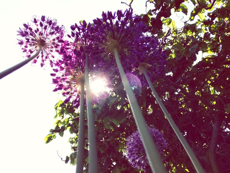 Low Angle View Growth Tree Nature Flower Sunbeam Purple Freshness Beauty In Nature No People Outdoors Sunlight Sun Branch Plant Day Fragility Sky Clear Sky Close-up