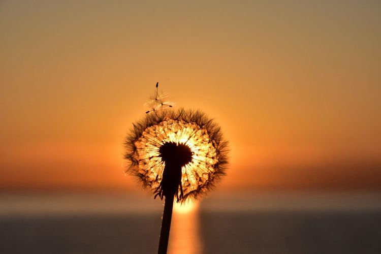 dandelion on sunrise background at the baltic sea Sunrise Baltic Sea Morning Silhouette EyeEm Selects Flower Flower Head Sunset Silhouette Summer Sky Close-up Dandelion Seed Dandelion Uncultivated Softness Flora Stem Botany Blossom Wildflower In Bloom Plant Life Orange Background