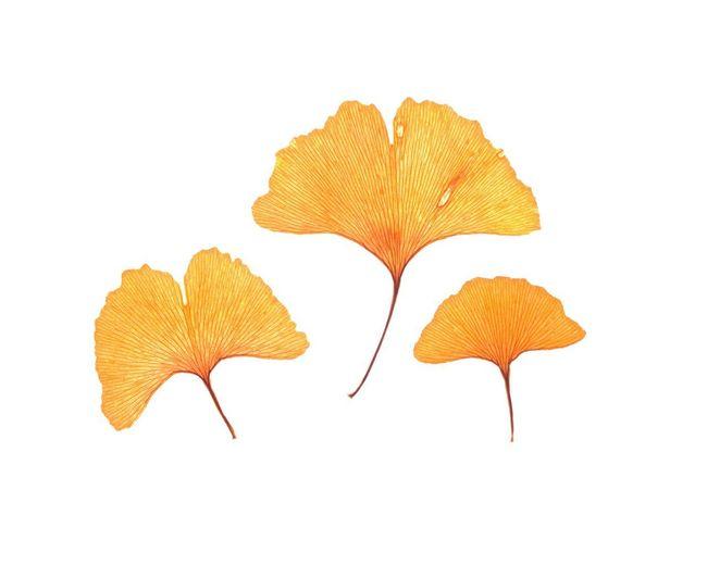 Dry Ginkgo Leaf
