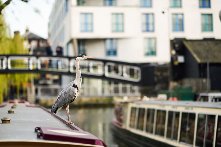 Heron or ardea cinerea on the roof of a boat in Little Venice, Camden town, London, UK Architecture Building Exterior Built Structure Animal Animal Themes Vertebrate Bird Animal Wildlife Animals In The Wild Focus On Foreground One Animal Mode Of Transportation Day Transportation No People Perching Heron Little Venice Camden Town Bridge Ardea Cinerea