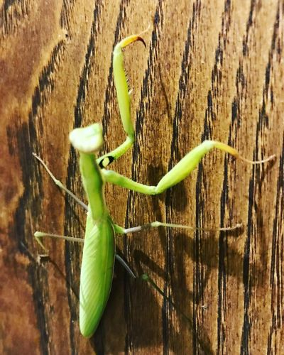 Mantide religiosa Green Color Animals In The Wild Animal Themes Insect Close-up Animal Wildlife One Animal Outdoors Nature No People Day Plant First Eyeem Photo