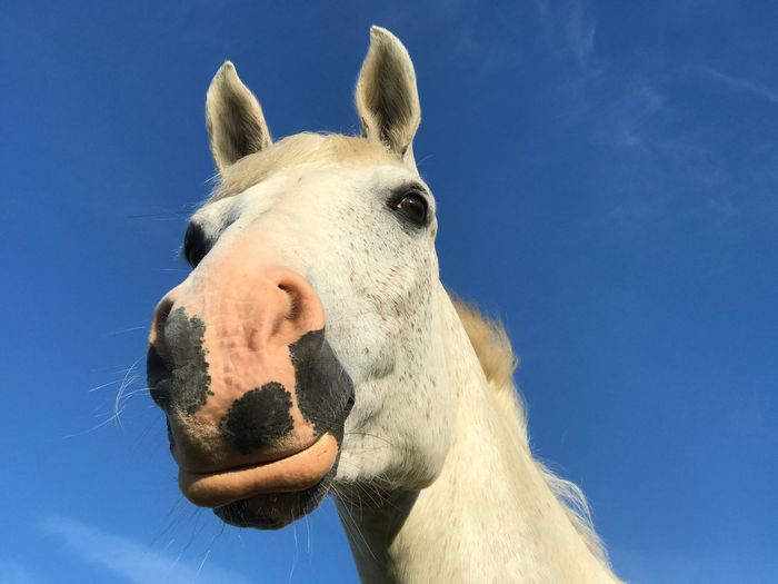Close-up of a horse against blue sky