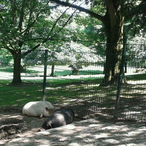 Die beiden Schweine sind echte Kollegen. Lieber mal im Schatten liegen. Animals Pets Funny Fun