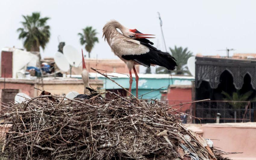 Storks On Nest Against Houses